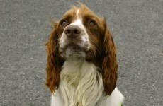 Barney the dog sniffs out €20k hidden in luggage at Dublin Airport