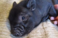 WATCH: A micro-pig takes being cute to a whole new incredibly cute level