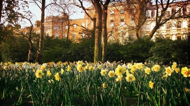 daffodils in stephens green