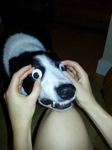 Tried to put googly eyes on my dog... - Imgur