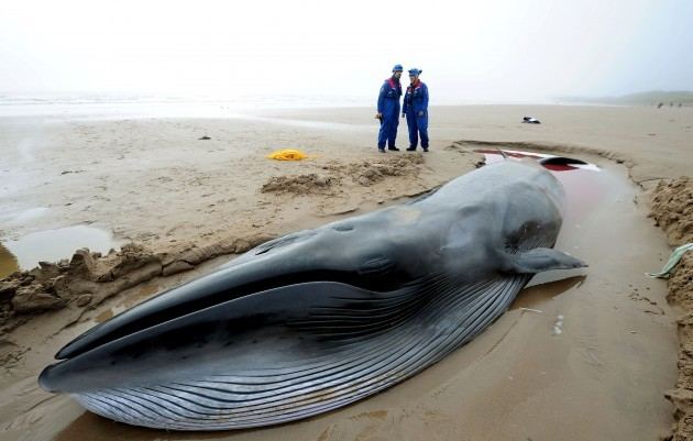 Rescuers bid to save ailing whale