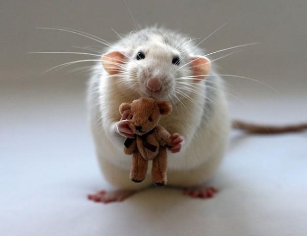 Rat with Teddy Bear. - Imgur