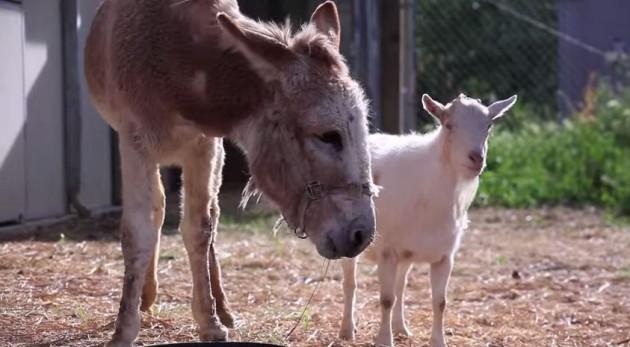 donkeyandgoat