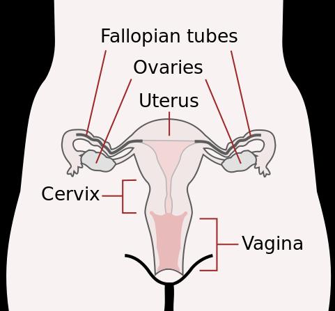 penis og vulva
