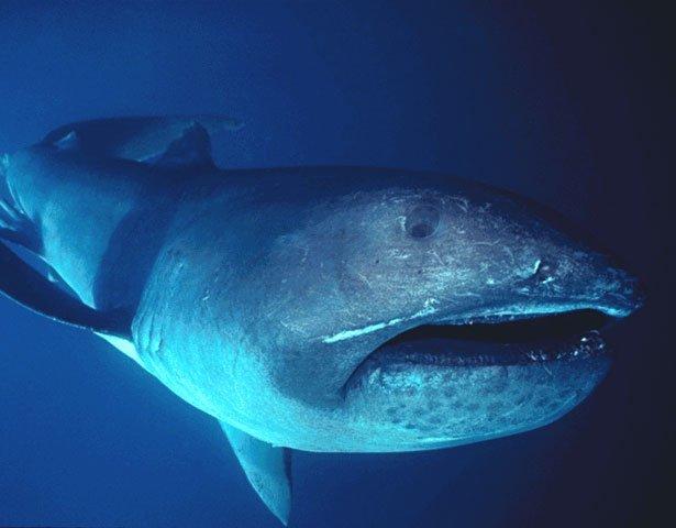Megamouth_shark2