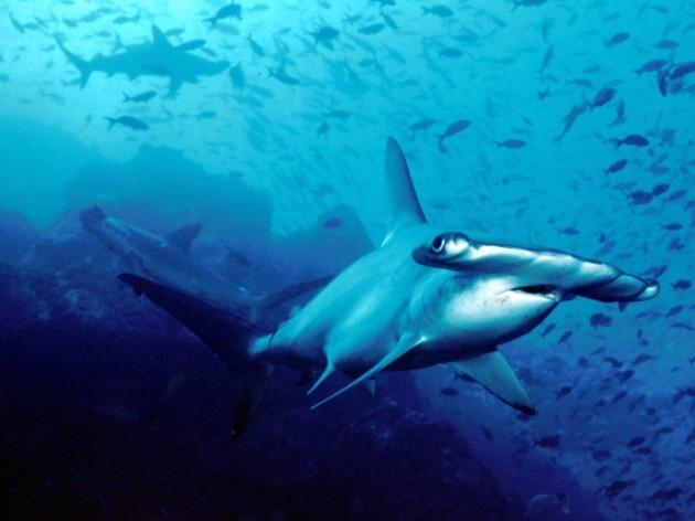 SHARK 17