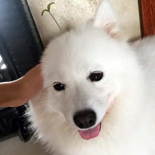 @samoyedhappy #samoyed #萨摩耶 #豆芽 @animals.co