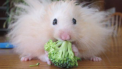 Bad hair day, hamster style.