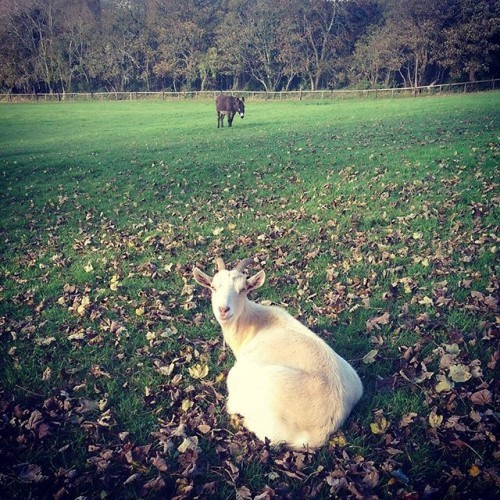 #walking #goat #donkey #forestwalk #august2015 #autumnleaves ⛅