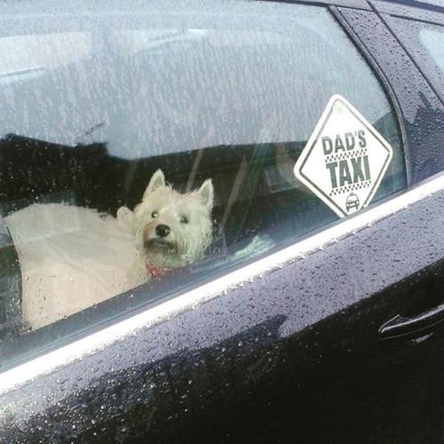 Millie riding in Dads taxi :-D #westie #westies #westiegirl #westiequeen #westhighlandwhiteterrier #westhighlandterrier #westiesofinstagram #westiegram #westietude #dogsofinstagram #doggygram #dogoftheday #drivingdog #dadstaxi