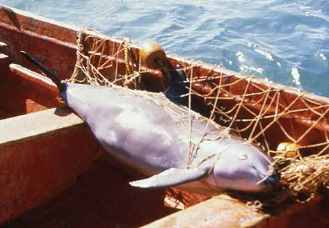 vaquita trapped in net
