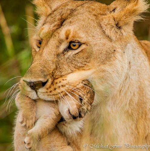 lion-cub-maasai-mara