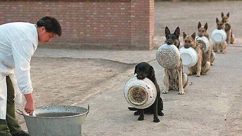 No skipping the queue: The six police dogs wait patiently in an orderly line to receive their food.