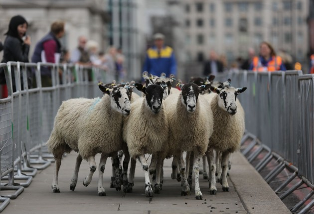 Freeman of the City of London driving sheep