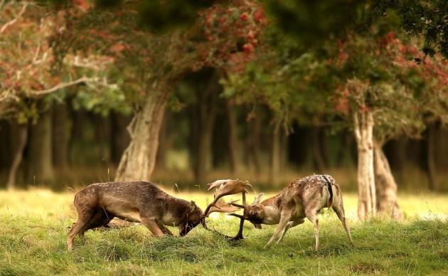 Deer rutting