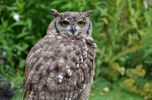 brown-owl-1208042_1280