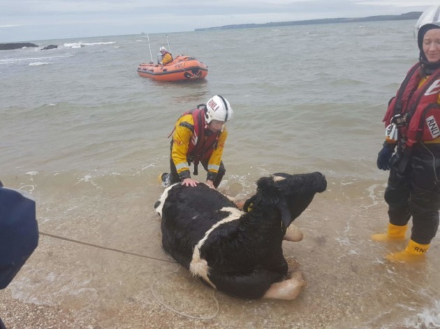 fethard_rnli_rescue_cattle_from_the_sea_after_animals_fall_from_cliff3