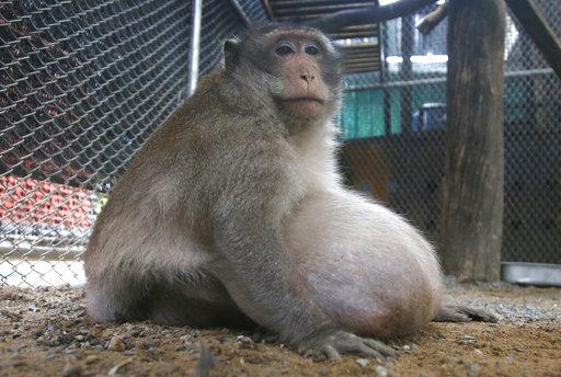 Thailand Chunky Monkey