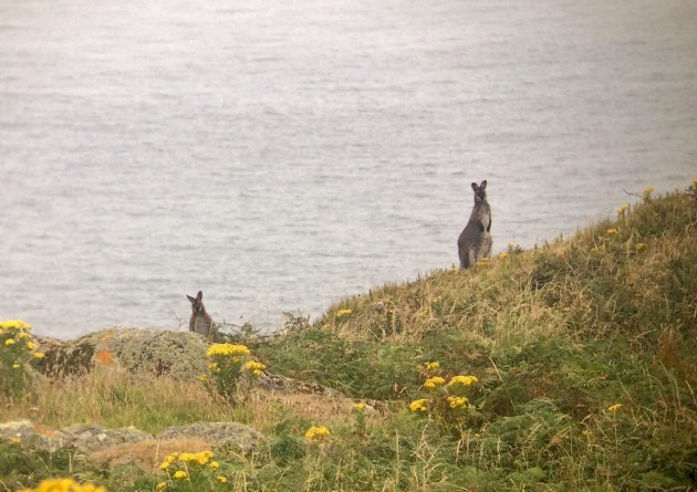 Red-necked Wallaby_Lambay Island_25th July 2017_Niall T. Keogh (2)