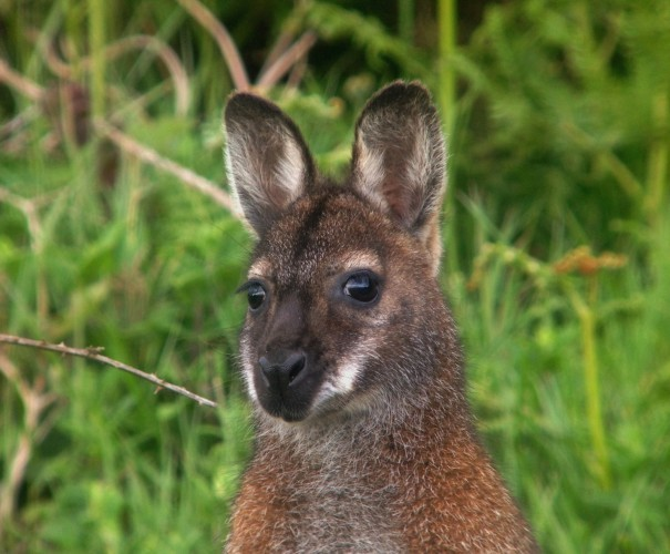 Red-necked Wallaby_Lambay Island_7th June 2015_Niall T. Keogh
