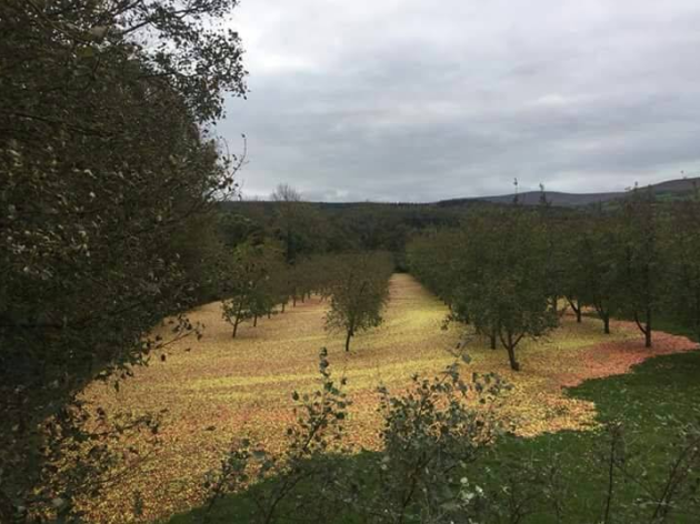 Storm Ophelia Shook A Blanket Of Apples Out Tipperary Cider Orchard