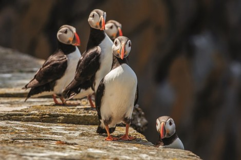 The Skelligs - Group of puffins