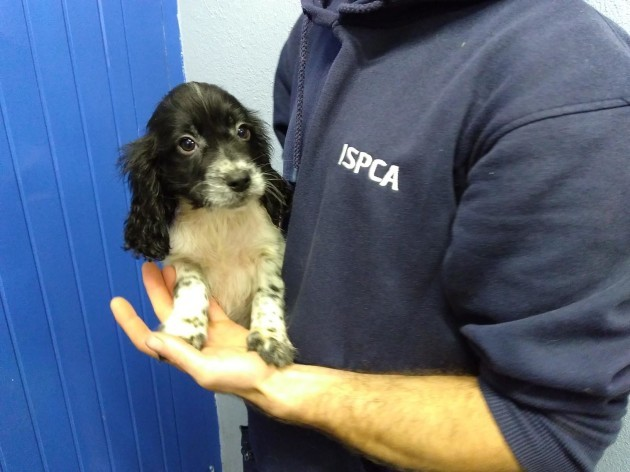 Ireland caring for seven puppies smuggled from Ireland into Wale