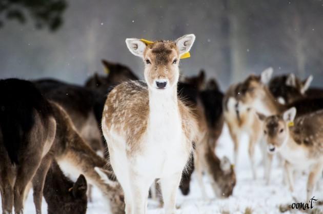 Deer_preview