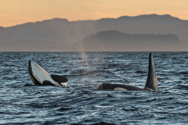 Southern Resident Killer Whale J-Pod Orcas off Vancouver Island, Canada