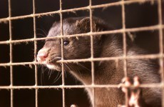 Poll: Should we ban fur farming in Ireland?