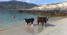 Presenting...your now weekly photo of cows taking a stroll on the beach