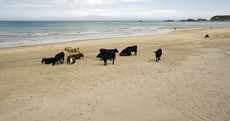 Mooove over: cattle catch some rays on an Antrim beach