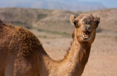 Deadly MERS virus may be spread by camels