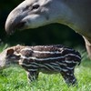 Two year old and her mother attacked by tapir at Dublin Zoo