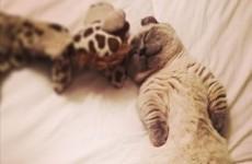 Meet Yoda, the munchkin kitten