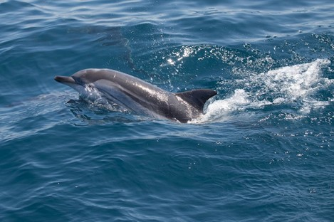 File photo of a striped dolphin