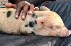 Mario Balotelli's pet pig is now his Twitter avatar