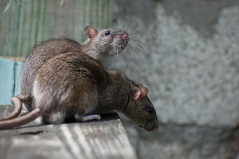 Rats. No thank you.