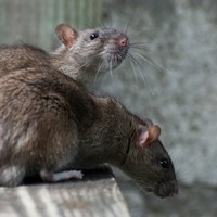 Debunked: Is a rat never more than a few metres away?