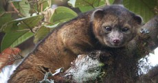 Meet the olinguito: New mammal species wrongly identified for 100 years