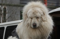 Ridiculed Chinese zoo that disguised dog as lion forced to close