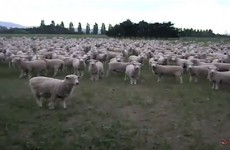 WATCH: Mob of sheep stage angry protest