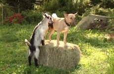 Dog feeds baby goats wearing special milk pants