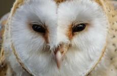 Ireland's most common birds of prey are in decline