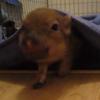 Here is a mini pig quacking like a duck
