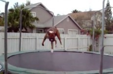 These animals jumping on trampolines are having more fun than you