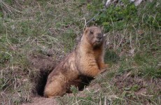 Marmot meat blamed after teen dies of bubonic plague in Kyrgyzstan