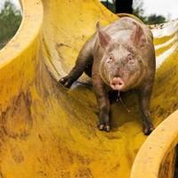 Farmer builds waterslide to keep pigs cool