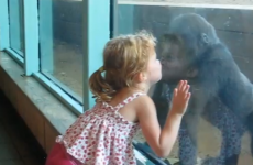 Adorable little girl makes instant friends with gorilla