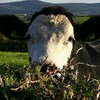 """Calves are being """"stolen to order"""" in border counties"""